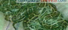 হাটহাজারীর ছাগল উন্নয়ন খামারে ধরা পড়লো ১০ কেজি ওজনের অজগর সাপ